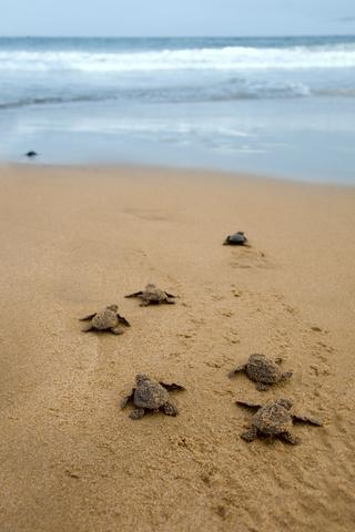 Turtle Hatchlings, Oman
