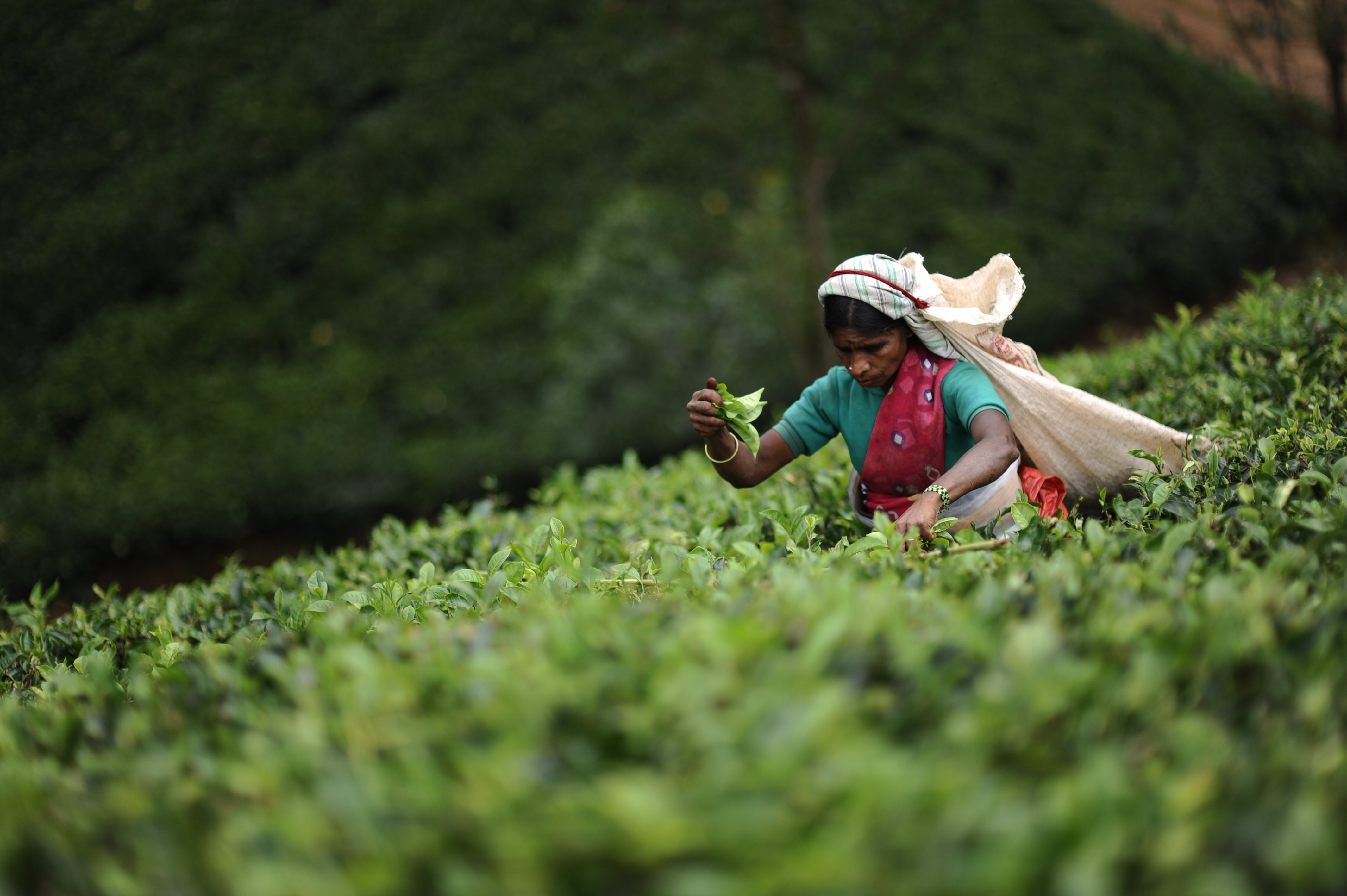 Tea plucker in Sri Lanka | Tailor Made holiday to Sri Lanka