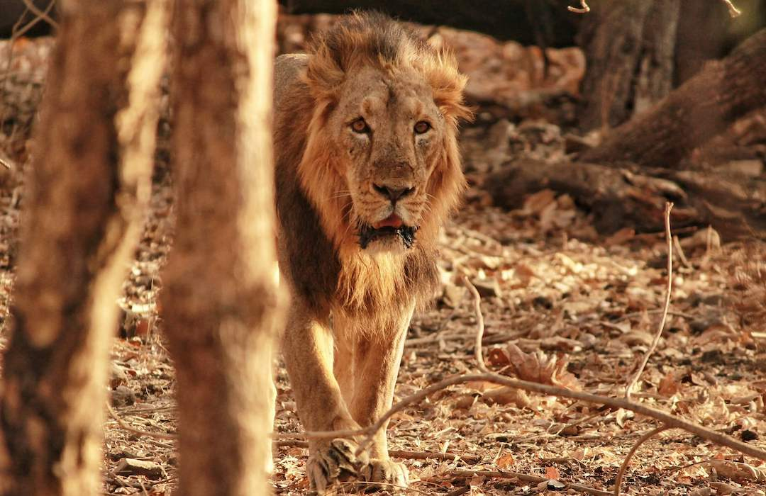 Asiatic Lion of Sasan Gir, Gujarat, India | The Best Places to Visit in Gujarat