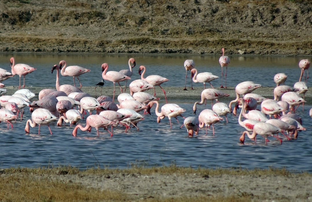 Flamingos, Little Rann of Kutch | The Best Places to Visit in Gujarat