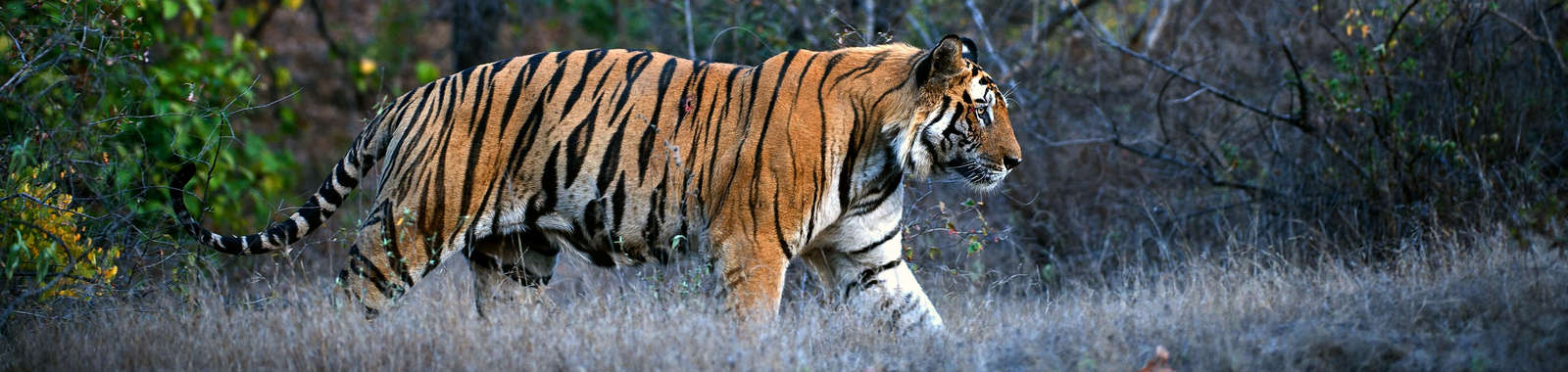 Seek out Royal Bengal tigers on a luxury tailor-made holiday to north India