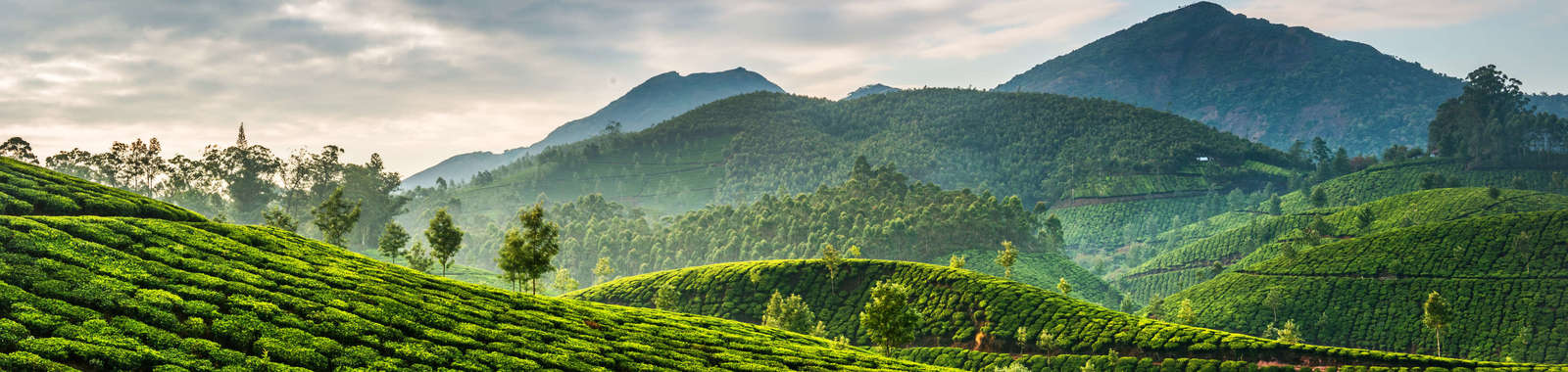 Explore the tea plantations of Munnar on a tailor-made holiday to Kerala, South India