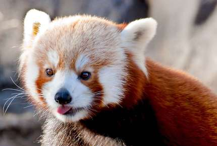 Red Panda on a family holiday to Bhutan